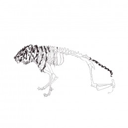 Tiger Skeleton illustration by Rayna Lo
